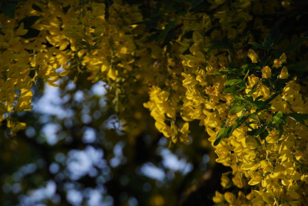 Photo of soft sunlight on yellow flowers.