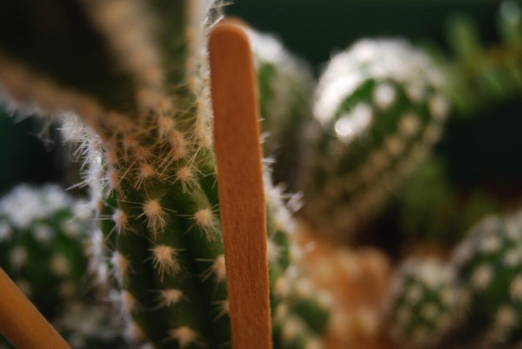 A close up photograph of a cactus plant.